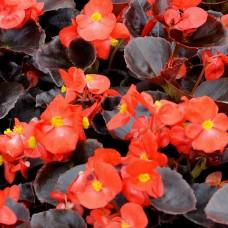 Бегония вечноцветущая темнолистная Nightlife Red (красный)