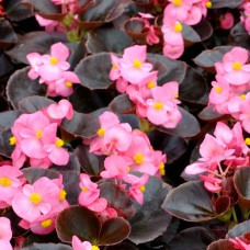 Бегония вечноцветущая темнолистная Nightlife Deep Rose (розовый)