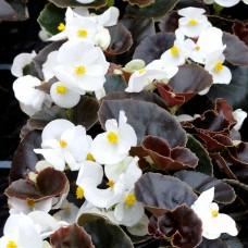 Бегония вечноцветущая темнолистная Nightlife White (белый)