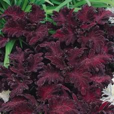 Колеус Black Dragon (темно-вишневый)