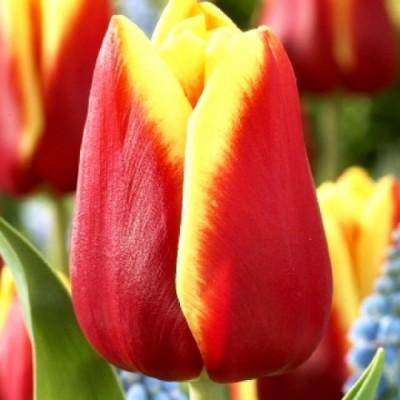 Тюльпан Bombita