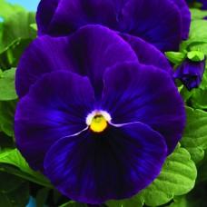 Виола Delta Violet (фиолетовый)