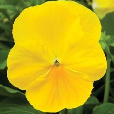 Виола Delta Yellow (желтый)