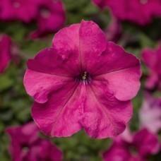 Петуния крупноцветковая Duvet Pink (розовый)