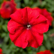 Петуния крупноцветковая Duvet Red (красный)