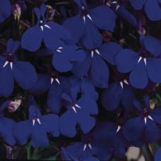 Лобелия Riviera Midnight Blue (темно-синий)