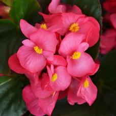 Бегония вечноцветущая зеленолистная  Sprint Plus Rose (розовый)