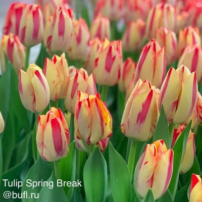 Тюльпан Spryng Break