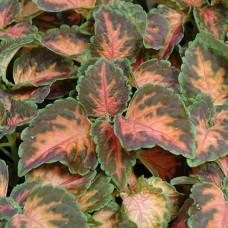 Колеус Wizard Coral Sunrise (красный с розовыми прожилками)