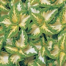 Колеус Wizard Jade (кремовый с зеленым краем)