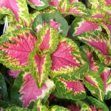 Колеус Wizard Rose (розовый с зеленым краем)