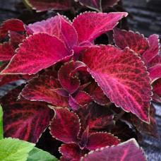 Колеус Wizard Velvet Red (красно-фиолетовый)