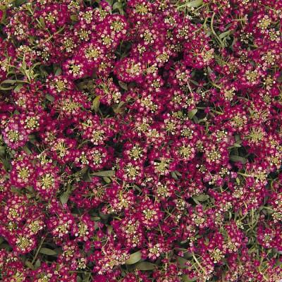 Алиссум Easter Bonnet Violet (фиолетовый)