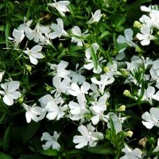 Лобелия Riviera White (белый)