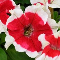 Петуния крупноцветковая Hulahoop Red (красный с белой окантовкой)