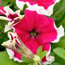 Петуния крупноцветковая Hulahoop Rose (розовый с белой окантовкой)