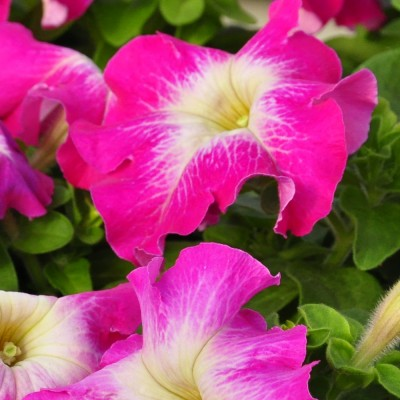 Петуния крупноцветковая Limbo GP Rose Morn (розовый с желтым центром)