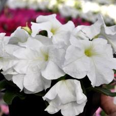 Петуния крупноцветковая Limbo GP White (белый)