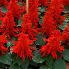 Сальвия Reddy Bright Red (красный)