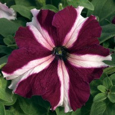 Петуния крупноцветковая Tritunia Crimson Star (бургунди-звезда)