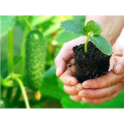 Овощная рассада для оптовиков и садоводов-любителей.