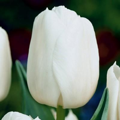 Тюльпан White Master